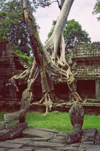 jungle tree growing through Angkor Thom temple
