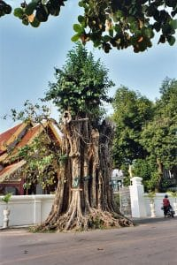 bodhi tree in front of temple