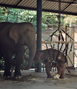 injured young elephant at hospital in Lampang