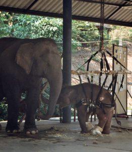injured young elephant at hospital in Lampang