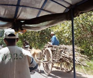 cattle and cart near Angkor