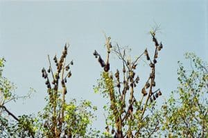 fruit bats in trees