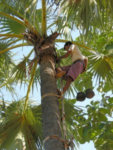 boy climbing in a palm tree to pick coconuts