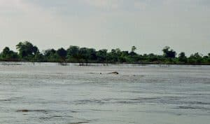 Irrawaddy dolphin breathing air in Kampi