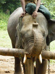 Padaung elephant camp