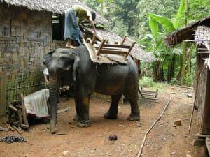 preparing to saddle an elephant at Padaung