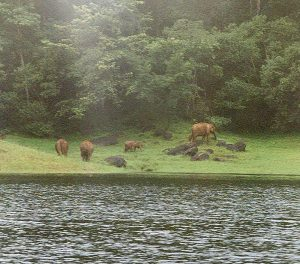 wild elephants at Periyar wildlife sanctuary