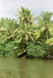 palm trees at backwaters